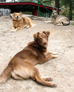 News_2013_-_Three_dogs